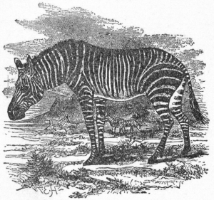 NSRW_Zebra