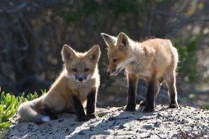 640px-Two_Vulpes_vulpes_pups